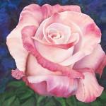 Rosa blanca rosada